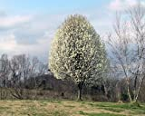 Bartlett Pear Tree, Healthy 3'- 4' Fruit Trees, 1- each