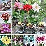 New Arrival! Ture amaryllis bulbs,hippeastrum flowers,hippeastrum bulbs,bonsai rare flower bulbs,home garden plant -2pcs/bag