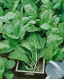 Sorrel, Large Leaf (Rumex acetosa) Seeds - Rumex Acetosa - 0.5 Grams - Approx 450 Gardening Seeds - Vegetable Garden Seed