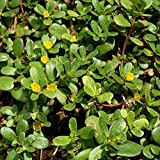 Green Purslane Seeds (Portulaca oleracea) 40+ Rare Heirloom Herb Seeds in FROZEN SEED CAPSULES for the Gardener & Rare Seeds Collector - Plant Seeds Now or Save Seeds for Years