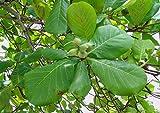 Palm Beach Medicinal Herbs - 12+ Fresh Green Catappa Leaves (Terminalia catappa) Indian Almond Leaves for Aquariums, Betta Fish, Replicate Natural Habitat, Beneficial Leaf Tannins, Aids Breeding
