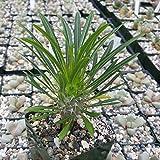 Pachypodium lamerei madagascar palm plant Cactus Cacti Succulent Real Live Plant