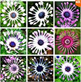 100pcs/bag Osteospermum seeds,daisy seeds,osteospermum flowers,8 colours,bonsai flower seeds,Nature potted plant for home garden