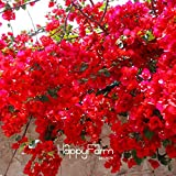 ChinaMarket 100 Seed/bag Red Bougainvillea Spectabilis Seeds Perennial Bonsai Garden Plant