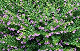 Mexican heather Cuphea hyssopifolia