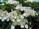 Climbing Hydrangea 50 Seeds (Hydrangea Anomala Petiolaris) Vine/climber, Groundcover