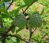 NA DAI Sugar Apple Annona Squamosa Tropical Fruit Tree