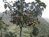 Cyphomandra betacea   Tamarillo   Tree Tomato  10_seeds
