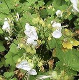 4 Bare Root of Geranium Macrorrhizum 'White Ness'