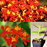 1 Stem Rooted Plant of Epidendrum Radicans Orchid Orange Yellow Flower Sunburst Reed
