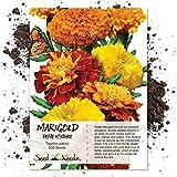 Seed Needs, Petite Marigold Mixture (Tagetes patula) 500 Seeds