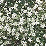 Burpee Covent Garden White Baby's Breath Seeds 800 seeds