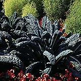 200 Heirloom Black Tuscan Kale Seeds (TOSCANA)by Stonysoil Seed Company