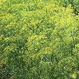 David's Garden Seeds Herb Dill Bouquet SL9243 (Yellow) 500 Non-GMO, Organic, Heirloom, Seeds