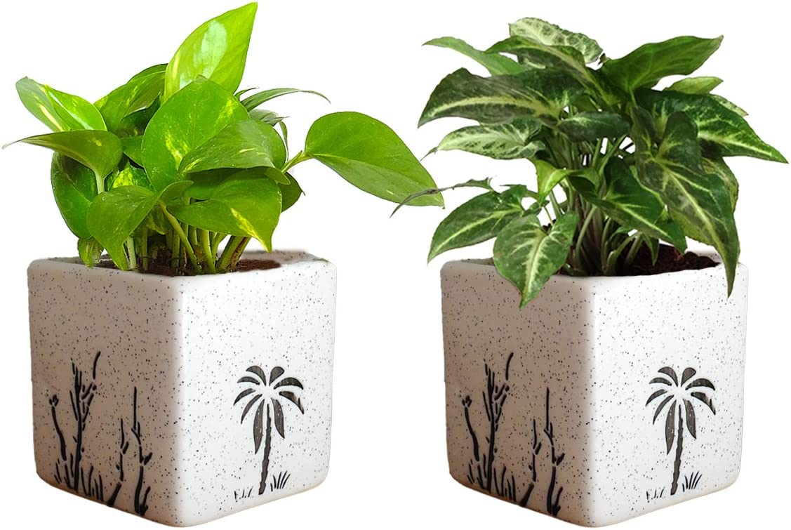 Rolling Nature Combo of Good Luck Air Purifying Live Money Plant and Syngonium Green Plant in White Square Aroez Ceramic Pot