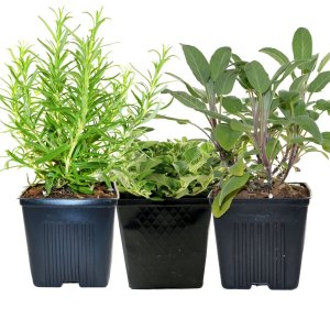 Sage, Oregano & Rosemary Plants Set of 3 Organic Non GMO Stargazer Perennials