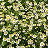 Outsidepride Roman Chamomile Herb Plant Seeds - 25000 Seeds