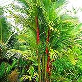 Solution Seeds Farm Heirloom Lipstick Palm Cyrtostachys Renda Tree, 20 seeds, red sealing wax palm (SEEDS NOT TREE)