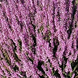 Calluna Vulgaris Seed,Scotch heather, an evergreen ground cover or low shrub.