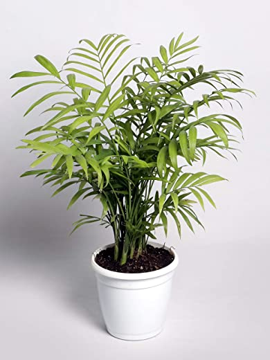 Nurturing Green Chamaedorea Live Indoor Dwarf Areca Air Purifying Palm Plant with Pot for home, living Room, bedroom, office
