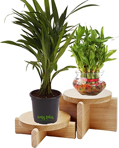Leafy Tales Set of 4 Lucky Plants Combo- 2 Layer Lucky Bamboo in Glass Bowl, Jade in Yellow Conical, Golden Money Plant in Blue Conical & White Money Plant in Orange Conical Ceramic Pots| Air Purifier Live Indoor Plant