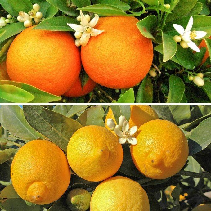 Citrus Trees, 1 Orange and 1 Lemon with 150 g Citrus Feed (Pair ...