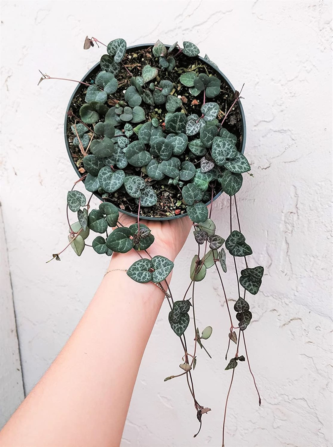 String of Hearts to Plant Indoors