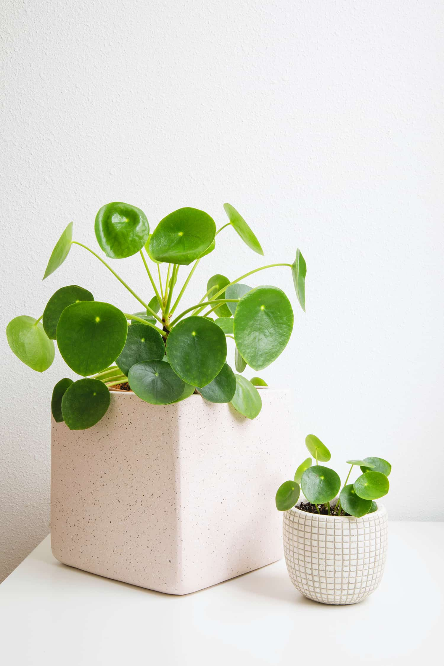 5 Tips For Caring For Fiddle Leaf Figs