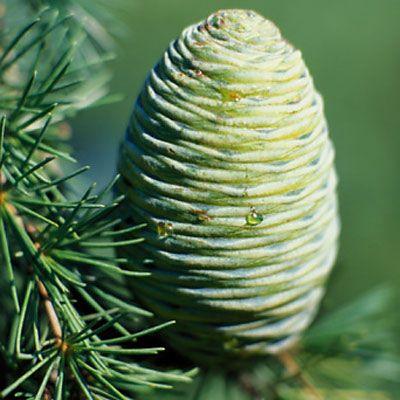cedarwood oil for arthritis pain