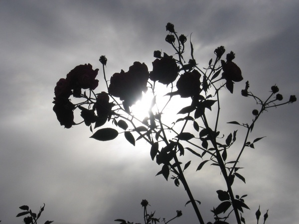 sun bursting through rose bush