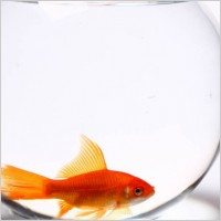 transparent glass fish tank and red goldfish 06 hd pictures