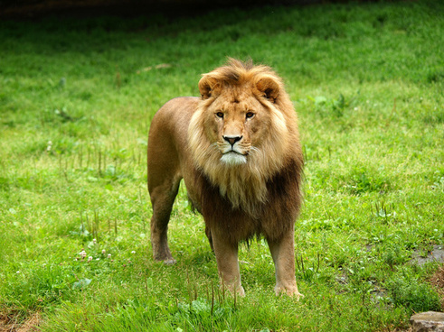 Lion Image Download For Free Free Stock Photos Download 67 936 Free Stock Photos For Commercial Use Format Hd High Resolution Jpg Images