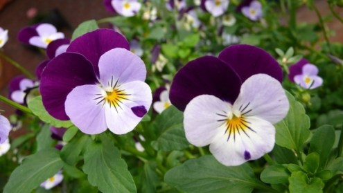 Pansies flowers images free stock photos download  11 061 Free stock     pansy flower macro photography