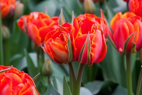 Tulip flower free stock photos download  10 924 Free stock photos     red tulip flowers