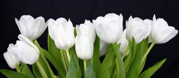 Free white tulip flower images free stock photos download