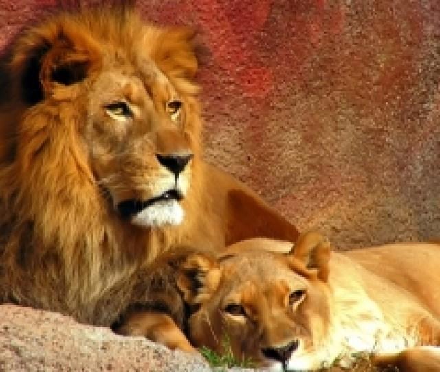 Lions Widescreen