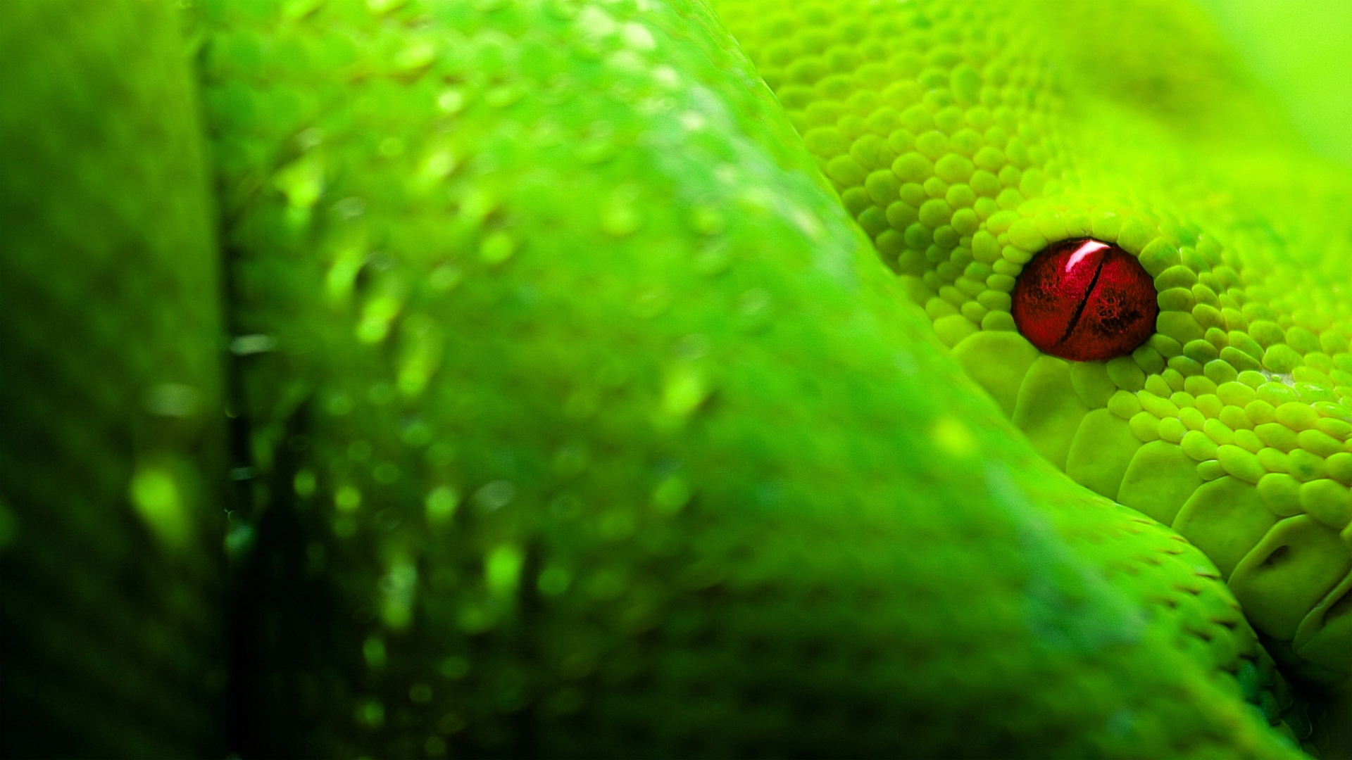 green boa full hd wallpaper and background | 1920x1080 | id:127963