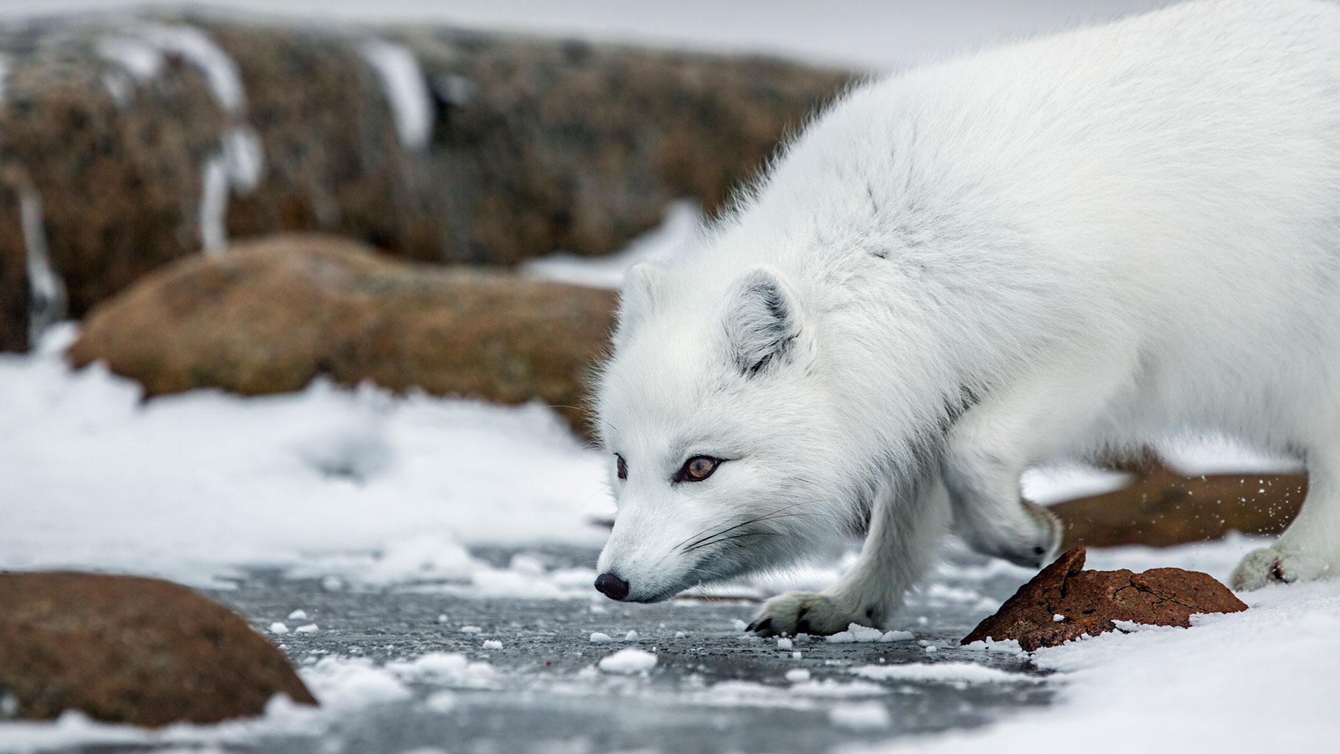 Arctic Animals Quiz