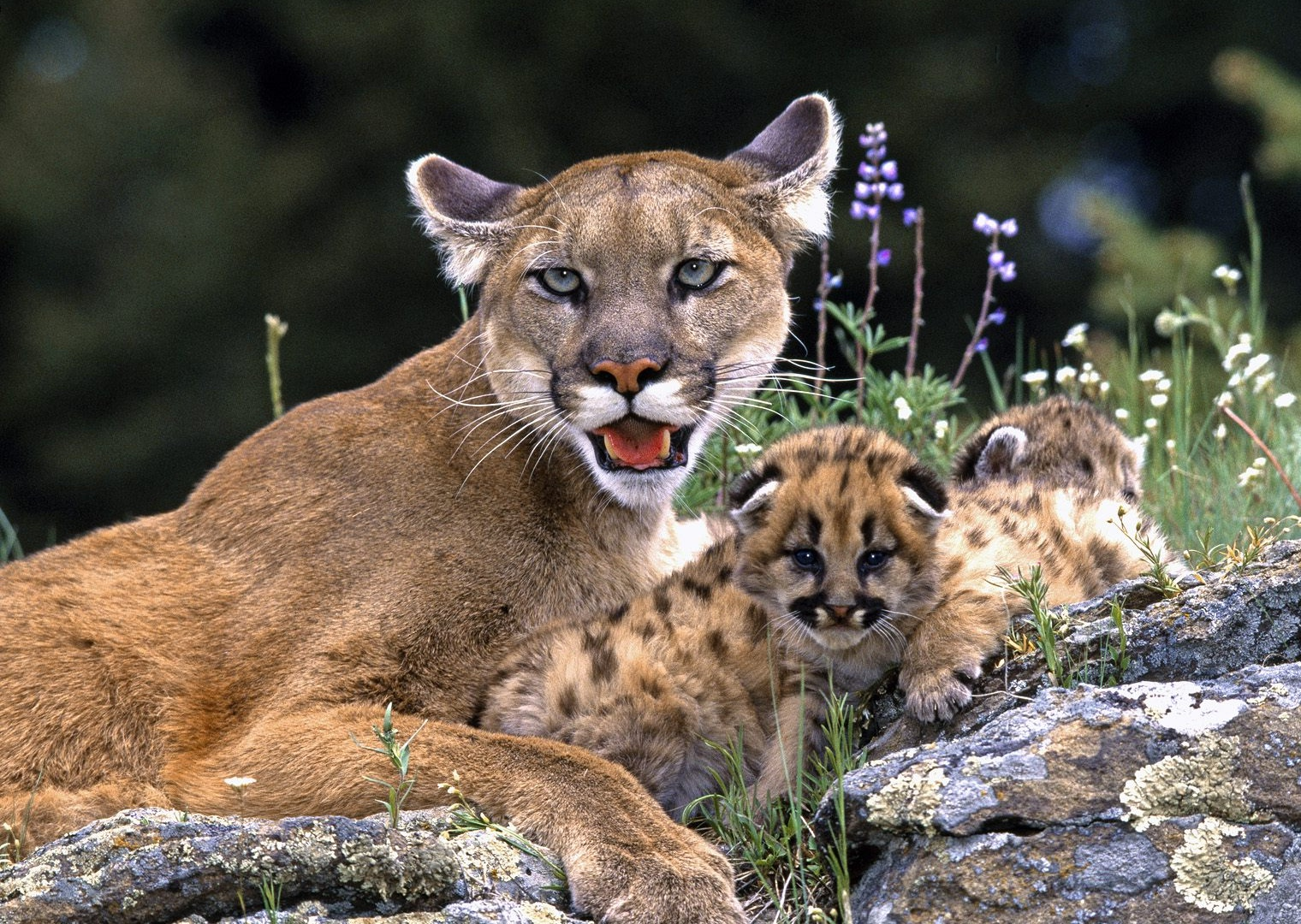 Set Of Pictures Of Baby Pumas On Animal Picture Society