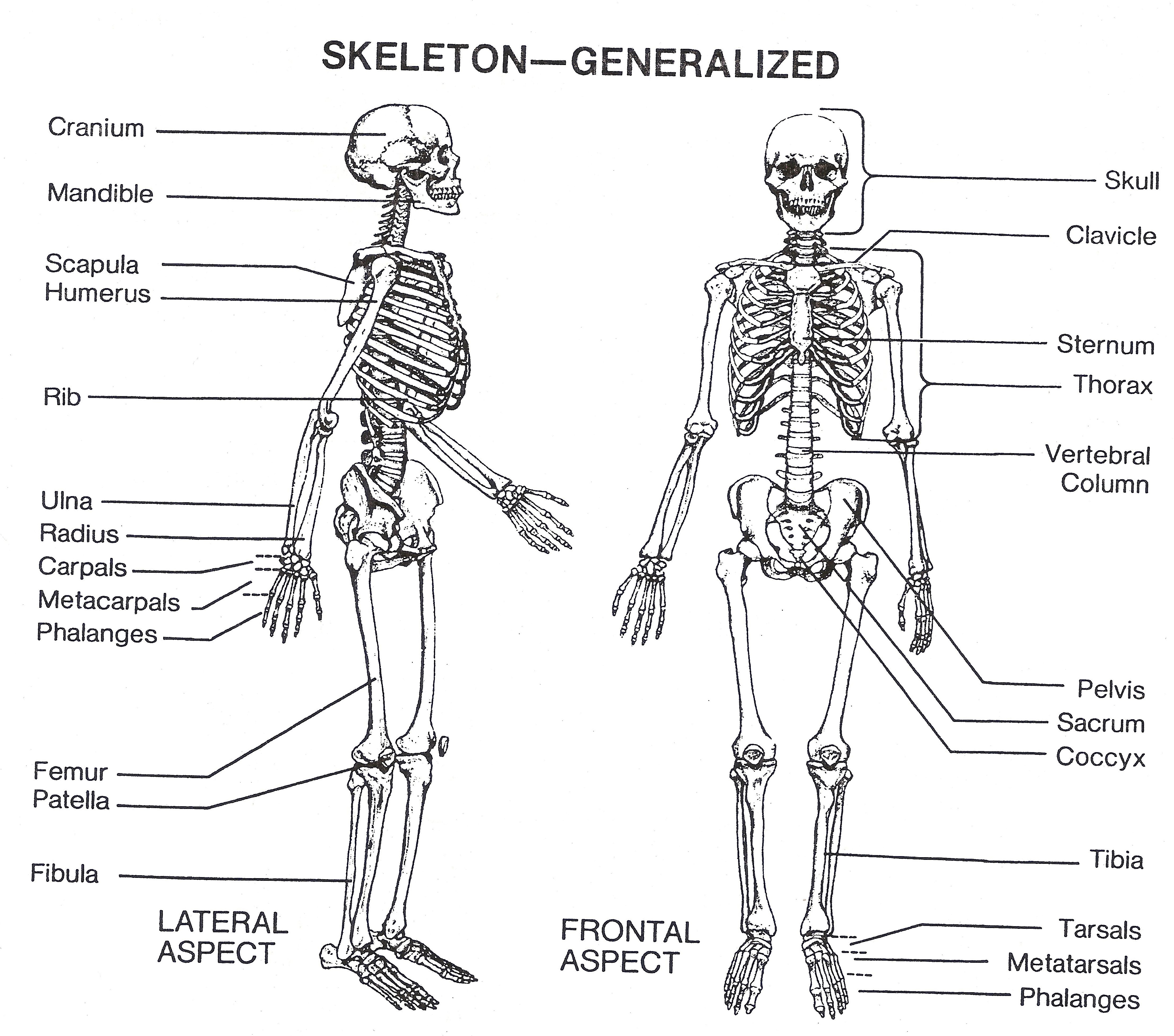 Skeleton Pictures Labeled On Animal Picture Society