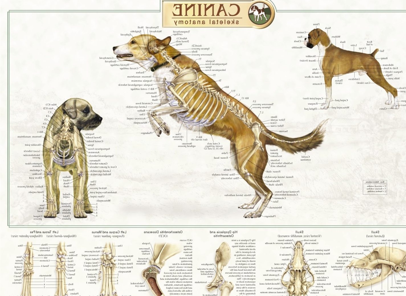 Female Dog Anatomy Chart