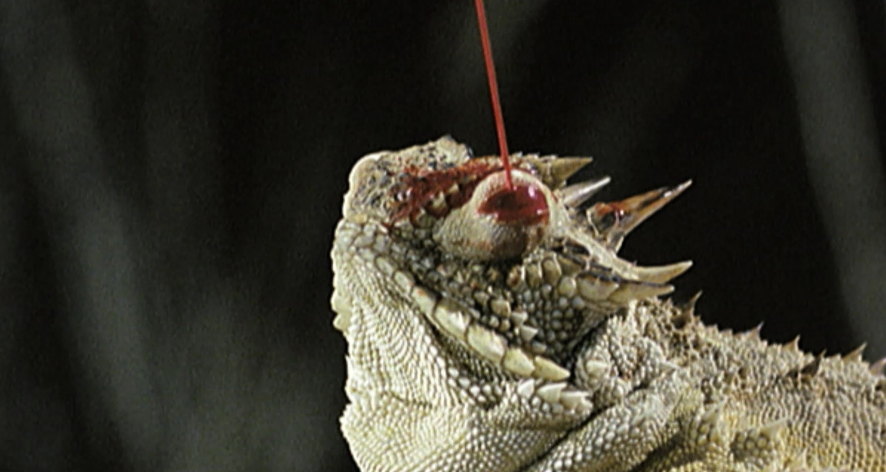 Horned Toad Shooting Blood Pictures On Animal Picture Society