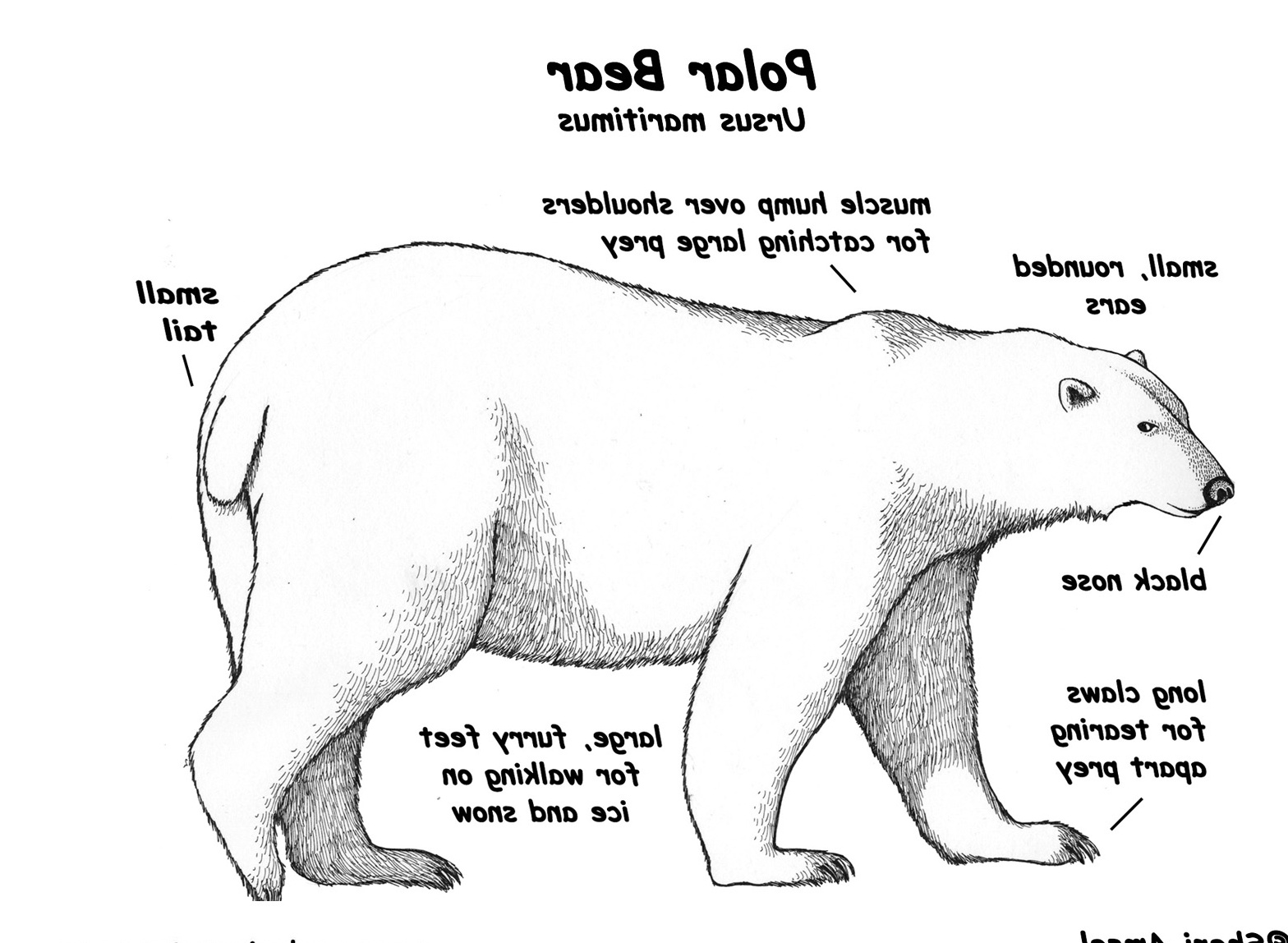 Polar Bear Mouth Diagram