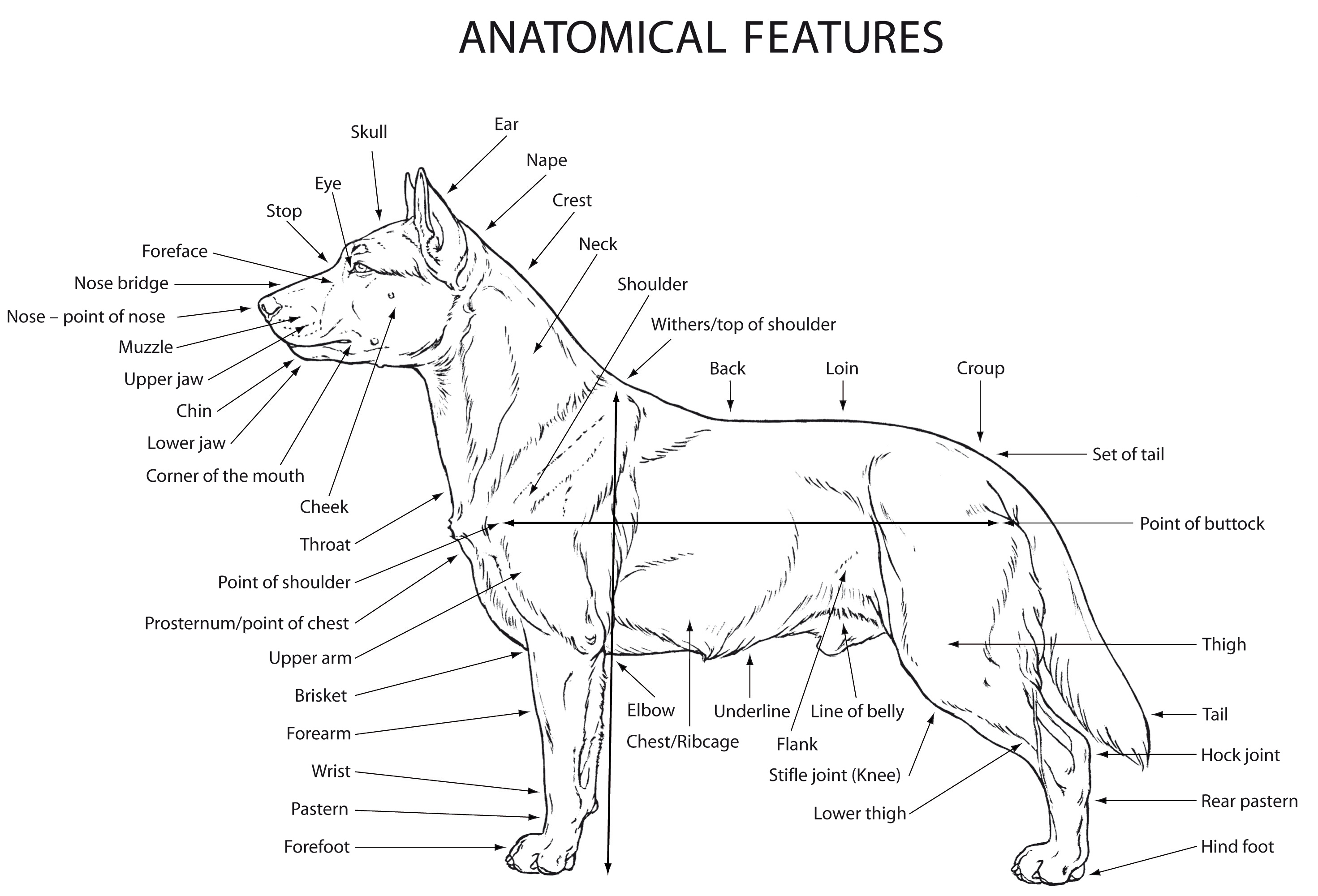 Female Dog Reproductive Anatomy Pictures On Animal Picture