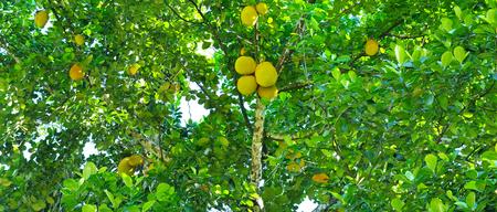 arbre fruit à pain