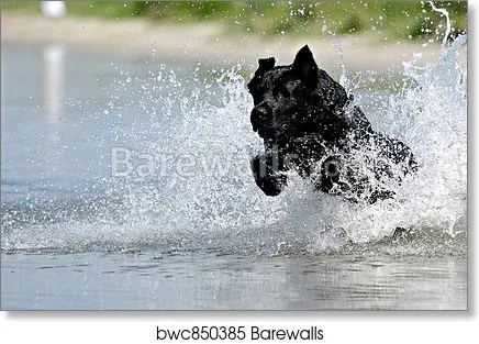 black dog in water art print poster