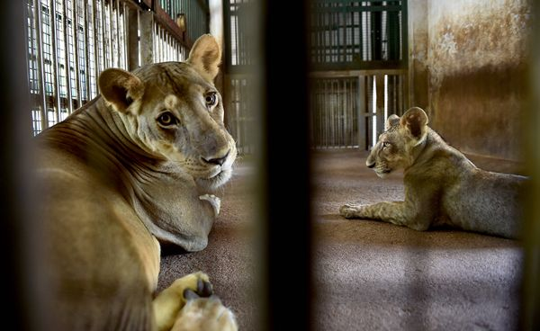 5 lions were diagnosed with symptoms of anorexia (loss of appetite) and occasional coughing.