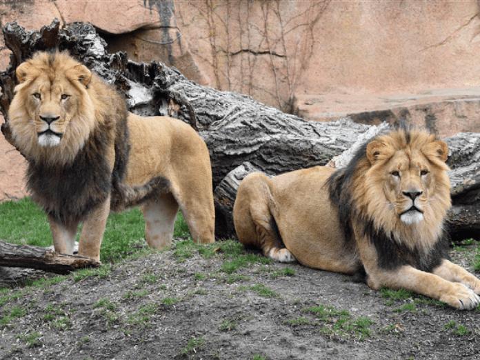 कोरोना पॉजिटिव शेरों में नाक बहना और सर्दी-खांसी जैसे लक्षण दिखने के बाद  पार्क प्रबंधन ने कोरोना टेस्ट कराने का निर्णय लिया था। - Dainik Bhaskar