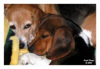 Beagle Postcards