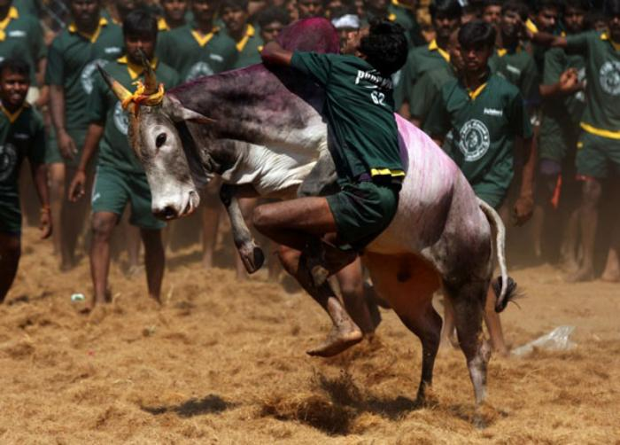 Cockfighting in AP brings in Rs 100 crore in bets despite ban on animal cruelty